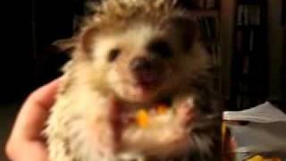 Śmieszne zwierzęta: Jeż/hedgehog