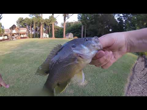 CRAZY Catching Fish With A Barbless Hook