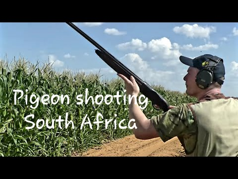 Rock Pigeon Shooting & Dove Hunting, Speckled Pigeon, Wing-shooting / March & April / South Africa