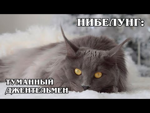 НИБЕЛУНГ: Родственник русской голубой кошки | Интересные факты про кошек и животных | Породы кошек