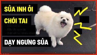 Dạy cún ngưng sủa iฑh ỏi - chói tąi | Cách huấn luyện chó cơ bản BoṡṡDog | D๐g training