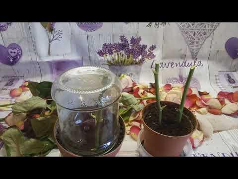 Укоренение розы из букета. Самый простой способ.
