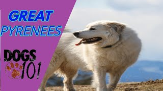 Dog 101 Great Pyrenees
