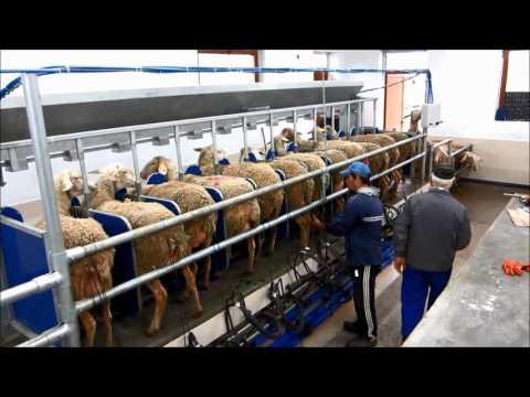 Milking Sheep Delaval