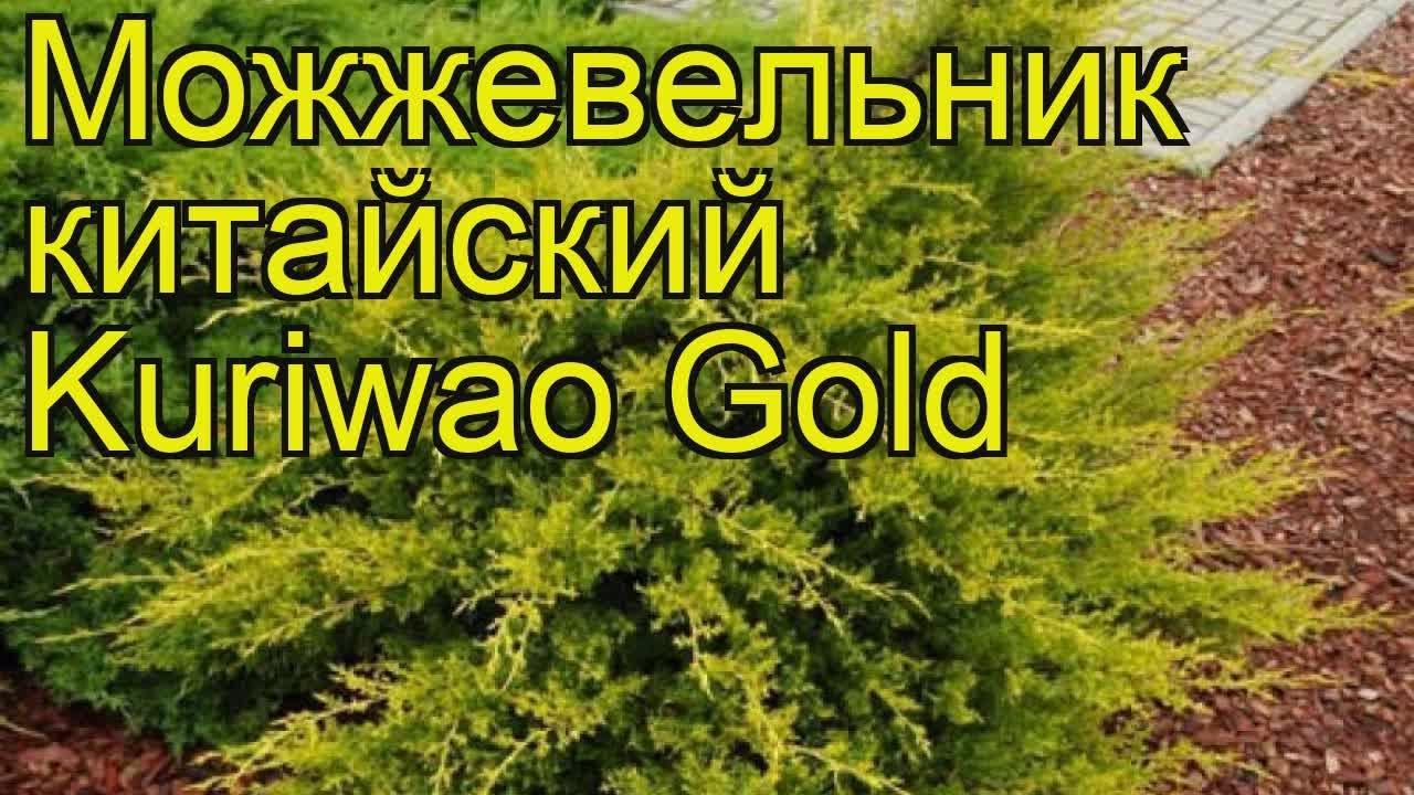 Можжевельник китайский Стрикта Вариегата. Краткий обзор juniperus .