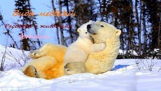 Медведи. Виды медведей. Рассказы о животных детям