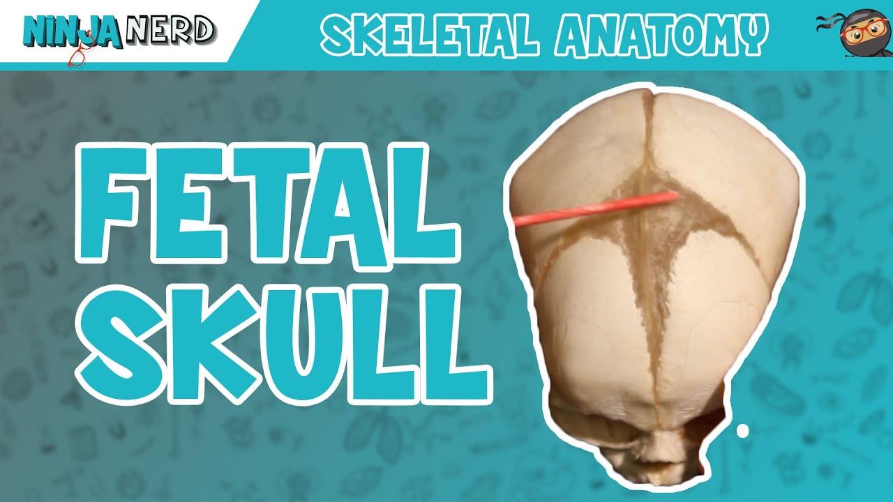 Fetal Skull Fontanelles Anatomy - YouTube