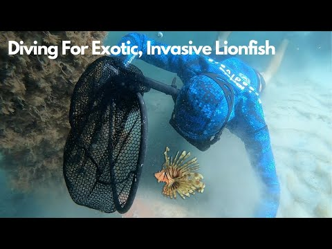 Diving For EXOTIC, INVASIVE Lionfish For 200 Gallon Aquarium!