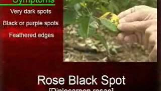 Landscape Enemies: Rose Black Spot