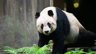 World's oldest panda Jia Jia dies