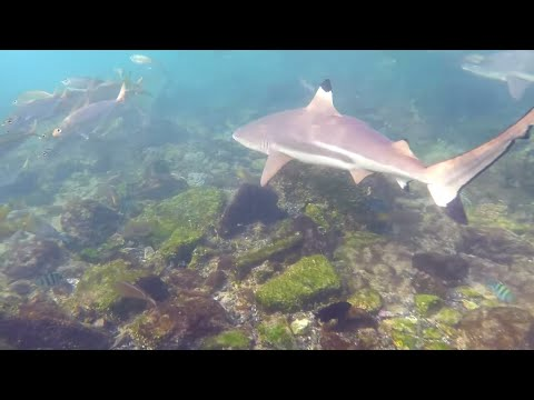 Snorkeling with sharks in UAE (Indian Ocean side)