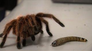 Vogelspinnen tausendfach - Pelztiere fürs Heim?