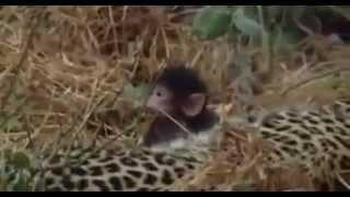 Леопард и детеныш обезьяны