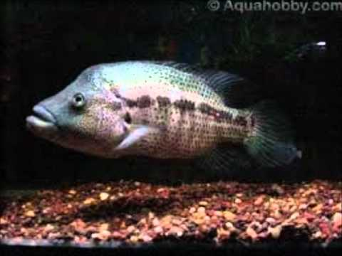 Top 10 most agrresive predatory fishes found in the for Predatory freshwater fish