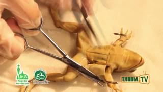 Understanding Digestive System: Frog Dissection by Hanane Akeel