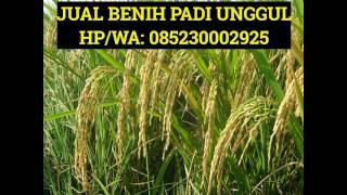 0852 3000 2925 (Tsel), Bibit Padi Sertani