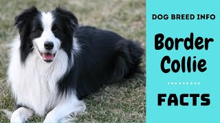 Border Collie dog breed. All breed characteristics and facts about Border Collie dogs