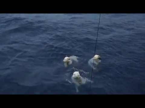 Polar Bears Trying to Eat Research Equipment in the Beaufort Sea