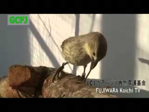 Дятловый вьюрок (Camarhynchus pallidus) - YouTube