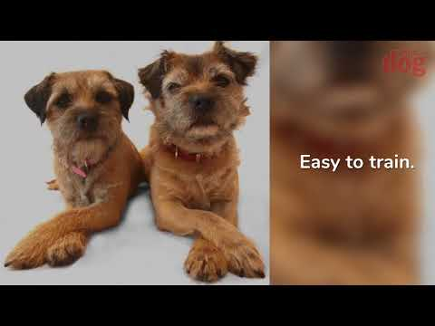 Border Terrier Breed Profile