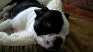 Boston Terrier snoring (Moisito)