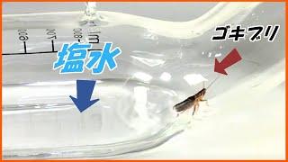蟻戦争Ⅲ#220 ゴキブリが「塩水」の海を何時間泳げるか検証したら、ヤバい結果になった・・・。  編~cockroach swimming~