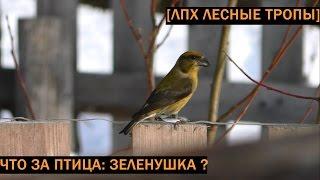 Что за птица: зеленушка?