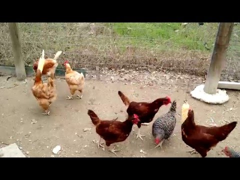 Chickens Snacking on Corn