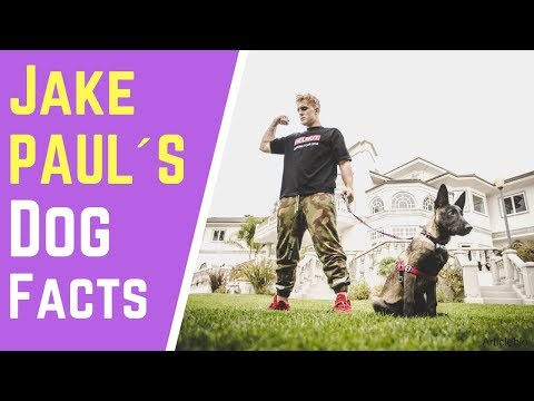 True facts that will shock you about Jake Paul dog Apollo / Heart melting moments