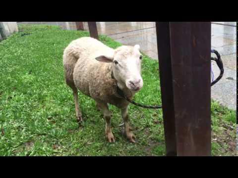 Aparece una oveja atada en el centro de Ourense