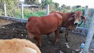 Hướng dẫn nuôi bò nhốt chuồng theo hướng bền vững chi tiết nhất