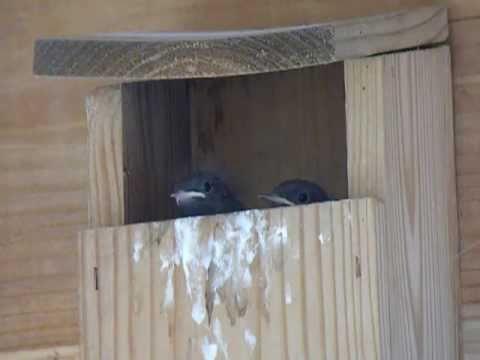 Rotschwänzchen Nistkasten hausrotschwanz-jungvögel im nistkasten - youtube