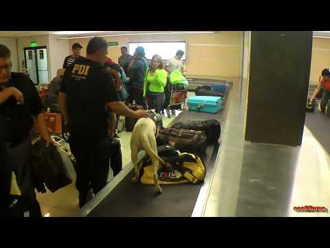 Chile - Flight Arica to Santiago - Police dog,drugs control on airport - South America,part 72 - HD