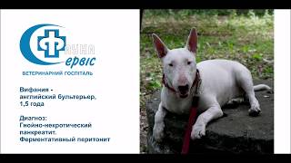 Резекция поджелудочной железы у собаки. Фауна-сервис