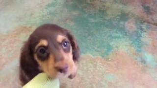 Five baby miniature dachshund puppies