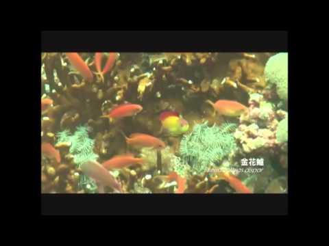 綠島海底的金花鱸