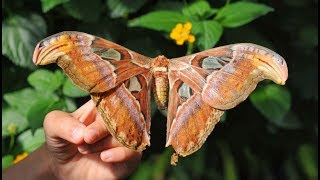 Самая крупная бабочка Павлиноглазка Атлас