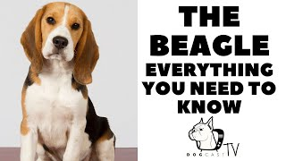 The BEAGLE Dog Breed  Everything You Need to Know!  DogCastTV!