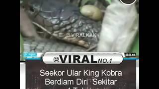 Aneh!! Seekor Ular King Kobra Berdiam Diri Sekitar 4 Tahun!