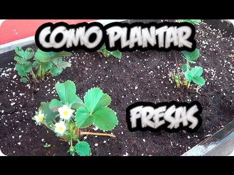 Como plantar fresas en el huerto urbano la huertina de for Como cultivar peces en casa