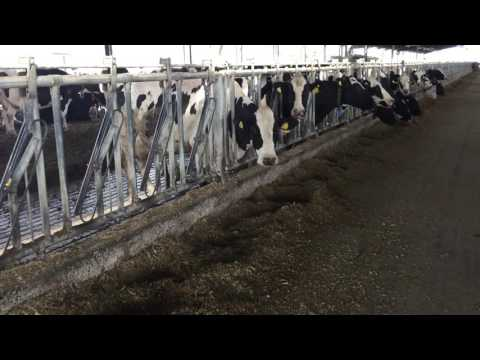 A never-ending line of cows on Morocco's largest dairy farm