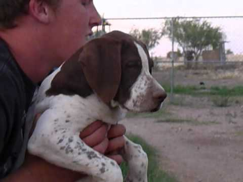 Elhew English Pointer Pup 520-907-5690 Sunrise Kennels
