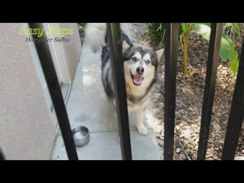 Sheru Walks Backwards   Alaskan Malamute & German Shepherd   Dog Does Back Gear Trick