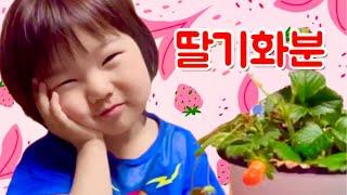 어린이집에서 심어 온 딸기화분 키우기