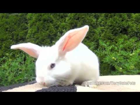 White Baby Bunny with Blue Eyes - Very Cute Baby Bunny Pet