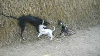 Kanni And Rajapalayam Dogs Fighting