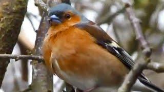 Vogelstimmen (komplette Dokumentationen, komplett auf deutsch anschauen, gratis Doku, Vogelstimmen)