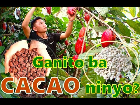 HOW TO MAINTAIN A GOOD HARVEST FOR CACAO FARMER? VARIETY OF CACAO TO PLANT,NEW BATAAN DAVAO DE ORO