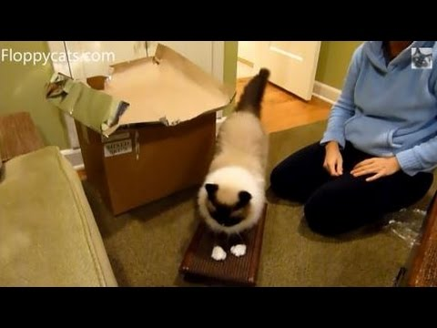Ragdoll Cats Receive The Royal Cat Boutique Kitty Treadmill For Review - ねこ - ラグドール - Floppycats
