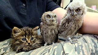 Warning! The cutest video ever! Little owls and a kitten explode the cute-meters